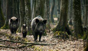 primami-divlje-svinjeds