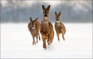 srneca-divljac-zima